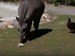 Тапир в зоопарке «Лимпопо» предсказала победу Швеции в матче с Южной Кореей (ВИДЕО)