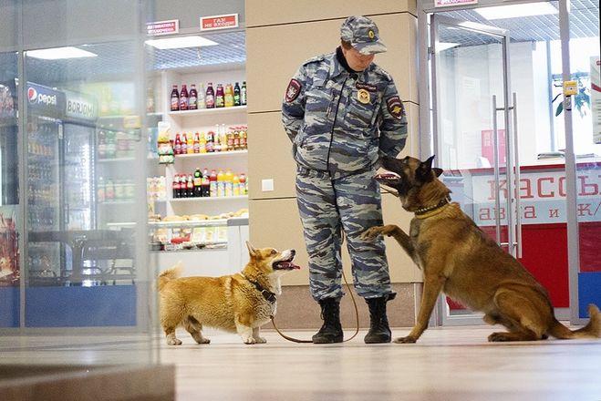 Искать наркотики на вокзале нижегородским полицейским помогает корги - фото 4