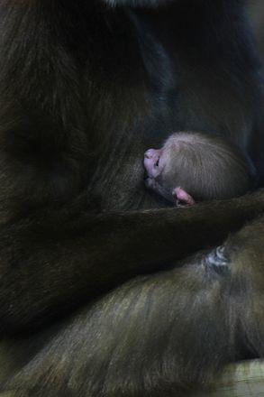 Зубр и гиббон родились в зоопарке Нижнего Новгорода - фото 4
