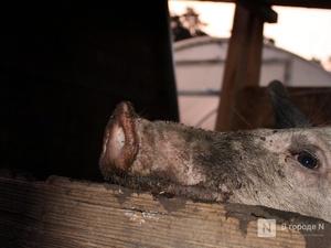Свиней стало больше в Нижегородской области